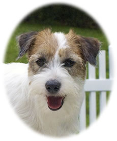 Jack Russell Terriers available. Breeder, pups, Shorties, puddins', Irish and English Jack Russell Terriers.