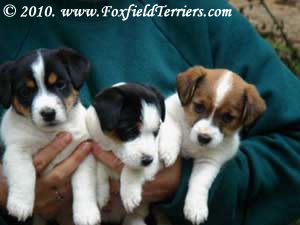 Jack Russell breeder. We have pups, Shorties, puddins', Irish and English Jack Russell Terriers available.